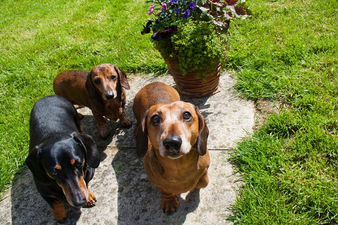 These are not the wiener dogs up for adoption, but wiener dogs nonetheless. - PHOTO VIA HACKBITZ/FLICKR