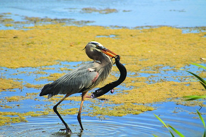 No. 61: Explore Orlando Wetlands Park. - PHOTO BY ASHLEY BELANGER