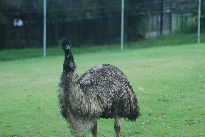 "Not ""Tweety Bird,"" but an emu nonetheless - PHOTO VIA ALEXANDRE LAVROV/FLICKR"