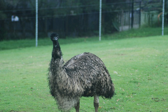"Not ""Tweety Bird,"" but an emu nonetheless - PHOTO VIA ALEXANDRE LAVROV/FLICKR"