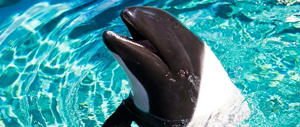 Newborn Commerson's dolphin calf dies at SeaWorld