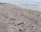 Cocoa Beach is mostly dead fish now
