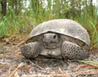 Go Fund Me set up to raise money to save more than 300 gopher tortoises from development