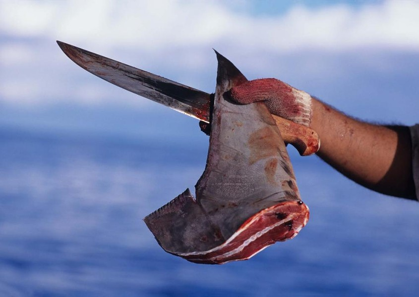 A freshly cut dorsal fin from a scalloped hammerhead shark. - PHOTO BY JEFF ROTMAN VIA THE SMITHSONIAN INSTITUTION