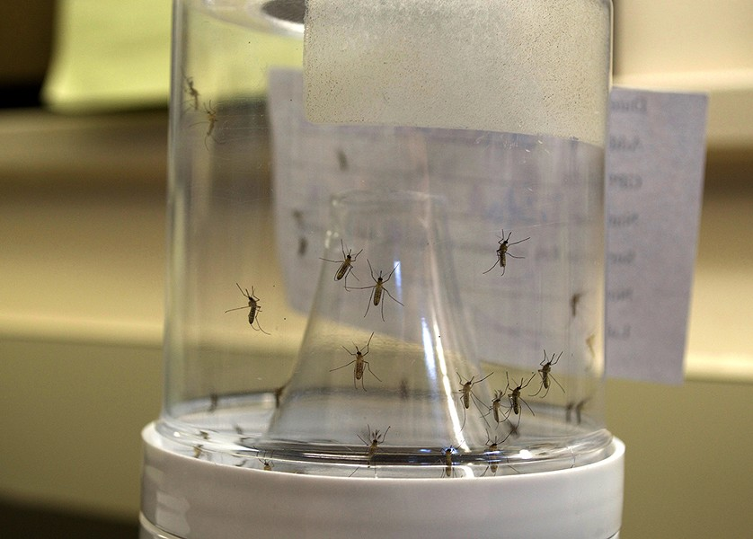 Different mosquito species are bred in containers at the lab. - PHOTO BY MONIVETTE CORDEIRO