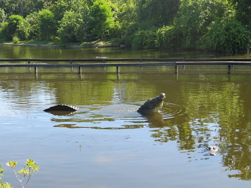 """Alligator initiating a """"bellow"""" or a mating call. - PHOTO BY CAROLINE SILVA"""
