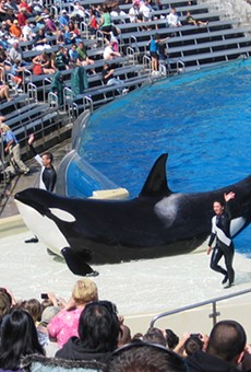 A new bill would ban all orca breeding and shows in Florida