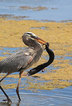 Get a close look at native wildlife at the Orlando Wetlands Festival on Saturday