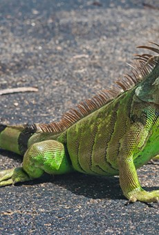 The best way to kill an iguana is to bash its head in, says Florida researchers