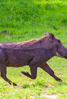 Wildlife officials captured an African warthog wandering through a Florida neighborhood