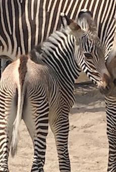 Disney announces the birth of two zebras at Animal Kingdom
