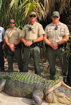 Florida cops: 'This may be the largest gator we've ever responded to'
