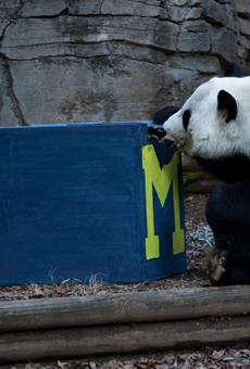 Big dumb panda picks Michigan over Florida in 2018 Chick-fil-A Peach Bowl