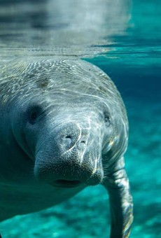 Florida boaters broke their own record for killing manatees in 2018