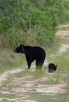 More than 1,700 people have applied for bear-hunting permits in Florida