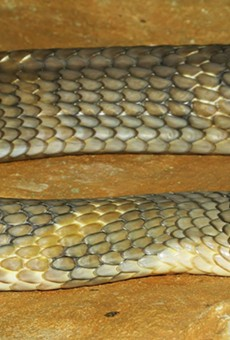Orlando's missing king cobra now has two Twitter handles ... and counting