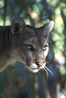 Florida's panther problems get a writeup in the New Yorker