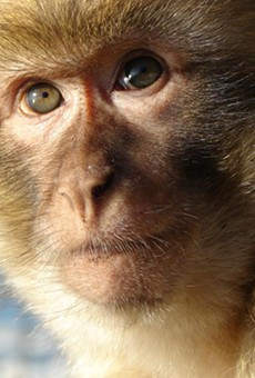 A typical rhesus macaque monkey