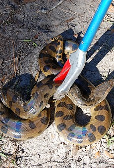 A 9-foot green anaconda was caught in Melbourne this week