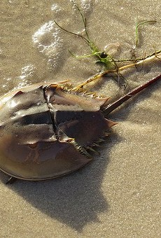 According to the FWC, only one species of horseshoe crab is found in North America, the Limulus polyphemus.
