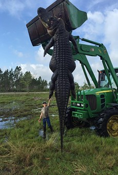 Arguably the largest gator to ever be caught in Florida was hunted down last weekend