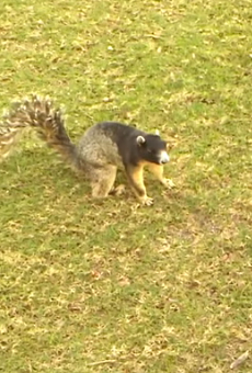 Arguably the largest squirrel in Orlando was caught on camera last weekend