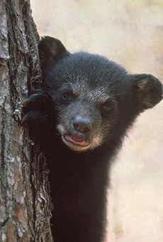 This is not the bear spotted in Orlando, just a cute cub.
