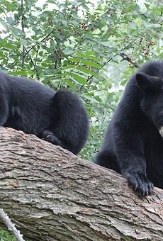 Florida wildlife staff prepare for possible bear hunt