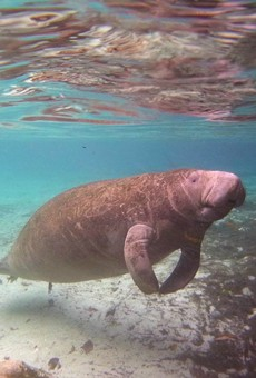 Manatees dying in Brevard County due to mysterious digestive syndrome