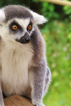 A Florida woman was attacked by someone's pet lemur outside of her home