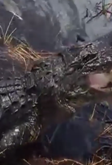 Please don't pet alligators from the side of your airboat