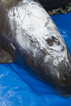 Rare beached pygmy killer whale arrives at SeaWorld