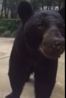 A Longwood resident filmed a close encounter with a bear, and the FWC isn't happy about it