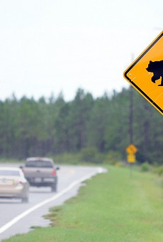 Florida black bears are 'robust and growing' in the state, report says