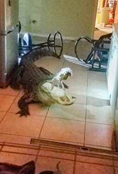 An 11-foot alligator was found inside a Clearwater home last night