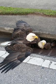 Metaphor alert: Two bald eagles got stuck in an Orlando storm drain last night