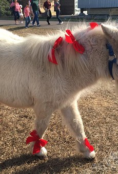 This very cute and tiny horse in Clermont needs your assistance