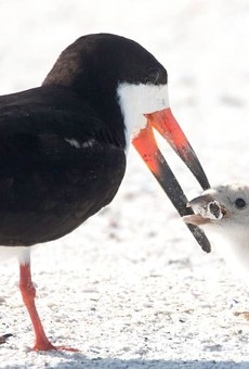 Florida bird spotted feeding cigarette butt to chick on St. Pete Beach