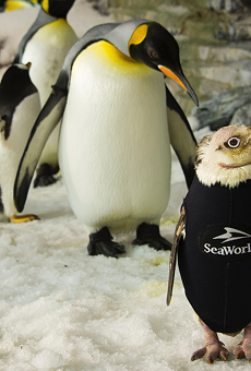 Wetsuit-wearing SeaWorld penguin finally grows her own coat
