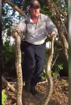 Video shows man catching 10-foot Burmese python near Florida golf course
