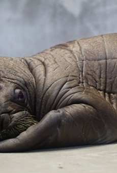 Stop what you're doing because a baby walrus was just born at Sea World