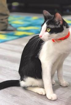 A denizen of the Kitty Beautiful cat café