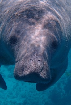 SeaWorld Orlando and Clearwater Marine Aquarium Institute team up to rescue trapped manatee