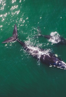 Coasts of Volusia and Flagler counties are hot spots for cooler-weather whale watching