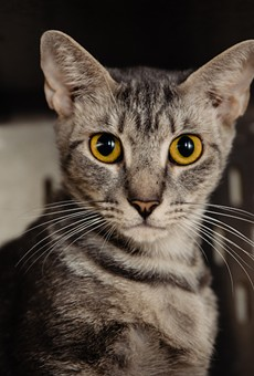 Gracie, a current shelter pet at Orange County Animal Services