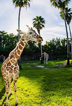 Busch Gardens Tampa Bay opens socially distanced version of their Serengeti Safari tour