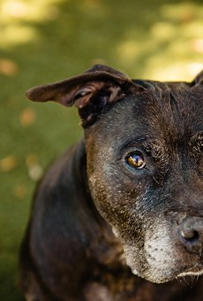 Adoptable dog Davey enjoys chasing toys and belly rubs, and he's very treat-motivated