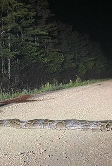 A mind-shatteringly large Burmese python was captured in Florida last week