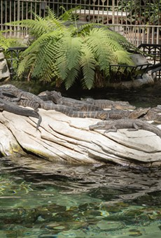 Some of the Wild Florida gators now seen at Gaylord Palms