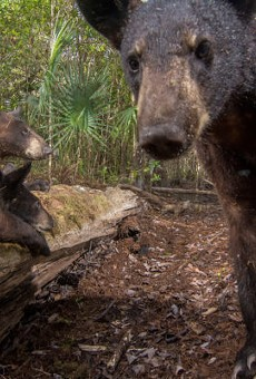 Florida black bears snap selfies on National Geographic photographer's camera